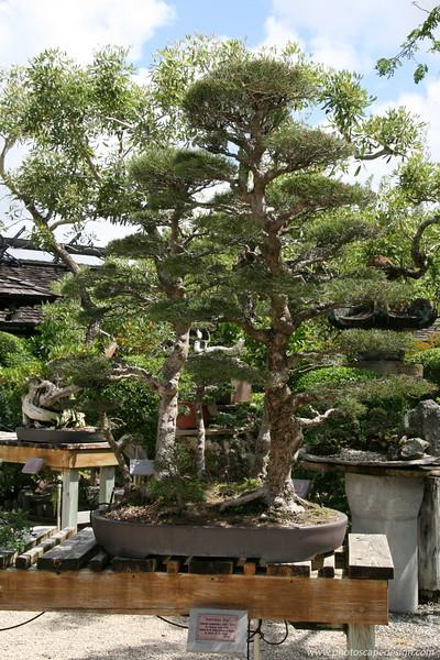 The Morikami Japanese Gardens - Delray Beach (May 31, 2008) [D]  Austrailian Pine (Casuarina equisetifolia) c. 1925 - 1970 --> In training since 1978