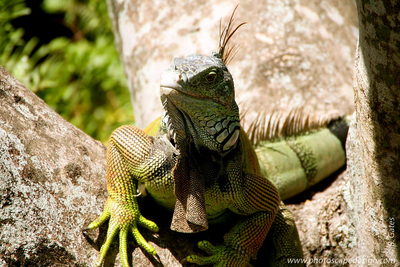 The Morikami Japanese Gardens - Delray Beach (May 31, 2008) [D]  Iguana