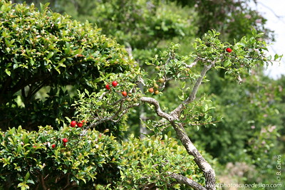 The Morikami Japanese Gardens - Delray Beach (May 31, 2008) [D]  Barbados Cherry (Malpighia glabra) c. 1975 --> In training since 1985