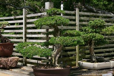 The Morikami Japanese Gardens - Delray Beach (May 31, 2008) [D]  Brazilian Raintree (Pithecollabium tortum) c. 1974 --> In training since 1987