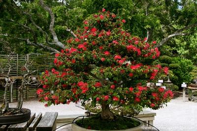 The Morikami Japanese Gardens - Delray Beach (May 31, 2008) [D]  Powder Puff (Calliandra haemataocephala) c. 1974 --> In training since 1975