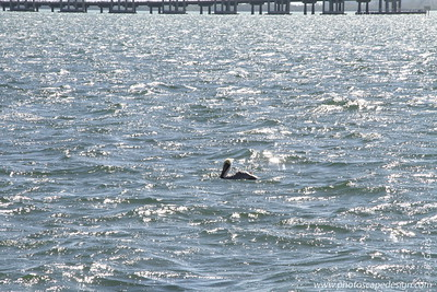 Brown Pelican (Pelecanus occidentalis) [nonbreeding plummage]  Floating in Biscayne Bay - near Brickell Bay Drive . . .