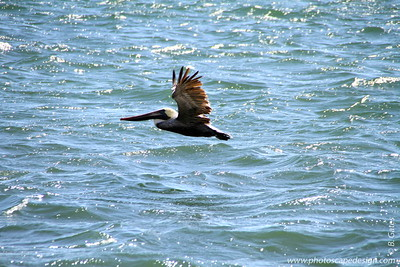 Brown Pelican (Pelecanus occidentalis) [nonbreeding plummage]  Flying over Biscayne Bay - near Brickell Bay Drive . . .