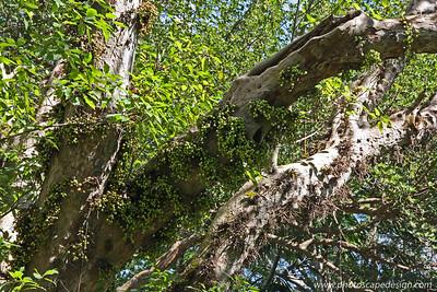 Shortleaf Fig (Ficus citrifolia) - Flamingo Gardens [D]