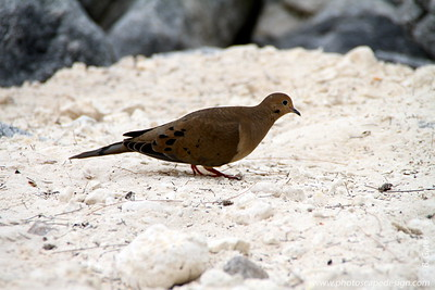 "Mourning Dove (Zenaida macroura) - Fort Zachery Taylor Historic State Park  The most abundant dove in the United States, the Mourning Dove is also the most widely hunted and harvested game bird. The name comes from the familiar, although easily overlooked song, a low-toned moaning cooah, coo, coo, coo.   The Mourning Dove is common in rural areas in all parts of the United States, as well as city parks and, in winter, suburban feeders. In some states, it is hunted as a game bird while in others it is protected as a songbird. Its species name, macroura, is Greek for ""long-tailed.""   Mourning doves are monogamous.  In warm climates, these doves produce up to six broods per year, the most of any native bird."