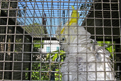 Yellow-crested Cockatoo (Cacatua sulphurea)  This is a medium-sized, white cockatoo. It is all white except for a long, forward-curling yellow crest, yellow ear-coverts and yellow under-surfaces to wings and tail. The bill is black, there is a bluish, bare eye-ring, and the fee are grey.  These birds are endemic to Timor-Leste and Indonesia, where it was formerly common throughout Nusa Tenggara (from Bali to Timor), on Sulawesi and its satellite islands, and the Masalembu Islands (in the Java Sea). It has undergone a dramatic decline, particularly in the last quarter of the 20th century, such that it is now extinct on many islands and close to extinction on most others.   Status:  Critically Endangered -->  The IUCN Red List of Threatened Species