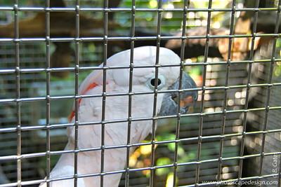 Moluccan Cockatoo, Salmon-crested Cockatoo (Cacatua moluccensis)