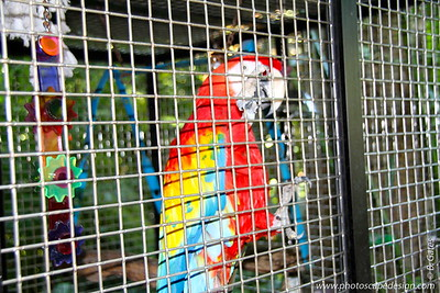 """Scarlet Macaw (Ara macao)  The Scarlet Macaw is perhaps the most magnificent of the macaw species. This magnificent macaw has a long history as a companion to humans, dating back to the early 1100s with the Incas. It is frequently described as """"magnificent, beautiful, and striking."""""""