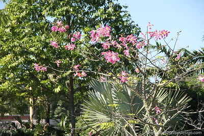Silk Floss Tree (Chorisia speciosa)