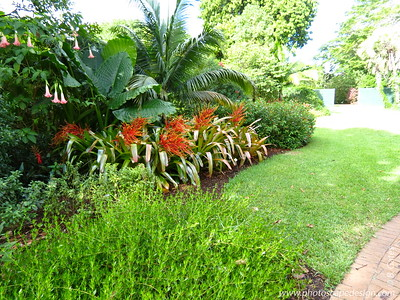 Bromeliad (Aechmea blanchetiana) [front], Angel Trumpet (Brugmansia suaveolens) [back left]