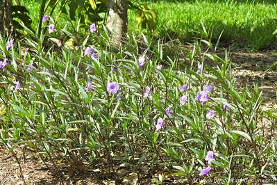 Mexican Bluebell (Ruellia brittoniana)