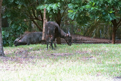 "Lowland Anoa (Bubalus depressicornis)  Anoa, the smallest of all wild cattle, is a miniature water buffalo, a type of wild cattle, similar in appearance to a deer, weighing 150 - 300 kg (330 - 660 lbs.).  It is a forest animal requiring dense vegetation. It lives in undisturbed forest and eats grass, herbs, leaves, fruit and marsh and aquatic plants. The anoa feeds in the morning and rests in the shade during the hottest parts of the day. One young is born at a time. Anoas live alone or in pairs, rather than herds, except when the cows are about to give birth.  ""Anoa"" is the Celebes word for ""buffalo.""  The Lowland Anoa is endemic to Indonesia, where it is found only on Sulawesi and Buton Island off the southeast coast, with no records of Anoas from other small neighbouring islands adjacent to Sulawesi (Burton et al. 2005), where it is found up to 1,000 m (G. Semiadi pers. comm. 2006).   Status: Endangered --> Status information found at  The IUCN Red List of Threatened Species"
