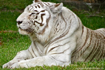 White Bengal Tiger (Panthera tigris)  This is Carlita, a 19-year-old female.    The tiger once ranged widely across Asia, from Turkey in the west to the eastern coast of Russia (Nowell and Jackson, 1996). Over the past 100 years tigers have disappeared from southwest and central Asia, from two Indonesian islands (Java and Bali) and from large areas of Southeast and Eastern Asia. Tigers have lost 93% of their historic range (Sanderson et al., 2006).  Tigers are currently found in twelve Asian range states: Bangladesh, Bhutan, Cambodia, China, India, Indonesia, Lao PDR, Malaysia, Myanmar, Nepal, Russia, Thailand and Viet Nam. They may still persist in North Korea, although there has been no recent confirmed evidence.  It is the largest living member of the cat family and no two animals are the same; each Bengal Tiger has its own pattern of stripes. Around the year 1900, there were as many as 50,000 Bengal Tigers in India. But by the year 1972, there were only about 1,800 Bengal tigers left. Through an attempt to conserve the existence of the tiger, there are currently about 4,000 tigers remaining.   Status:  Endangered --> Status information found at  The IUCN Red List of Threatened Species