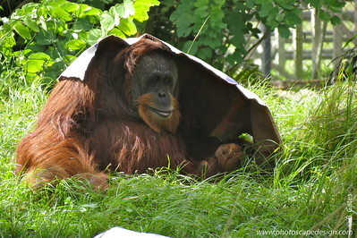 """Sumatran Orangutan (Pongo abelii)   Orangutans are large, red-haired animals with four hands. They are members of a group called the Great Apes. Unlike monkeys, they have no tail. The word orangutan translates as """"Person of the Forest"""" in Malay and Bahasa Indonesian. Orangutans are very similar to humans. They share 96.4% of our genes. The Great Apes are humankind's closest living relatives.  Pongo abelii is endemic to the island of Sumatra, Indonesia. It is generally restricted to the north of the island, north of the Batang Toru river on the west coast of North Sumatra province (Wich et al. 2003).  The Sumatran Orangutan (Pongo abelii) differs genetically and physically from the Bornean Orangutan Pongo pygmaeus pygmaeus and the population is smaller.    Orangutans breed more slowly than any other primate, with the female producing a baby on average only once every 7-8 years. This makes the population extra-vulnerable to loss and accelerates the decline in numbers.  Status:  Critically Endangered --> It is in grave danger of extinction. --> Status information found at  The IUCN Red List of Threatened Species"""