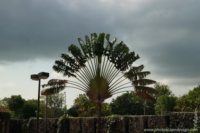 The Traveller's Palm (Ravenala madagascariensis) is a species of plant from Madagascar. It is not a true palm but a member of the bird-of-paradise family.