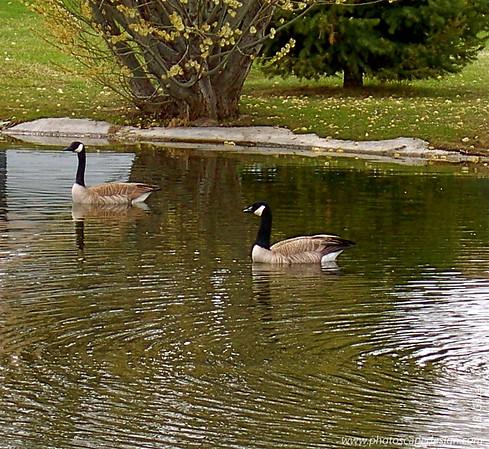Canadian Geese - Boise, Idaho