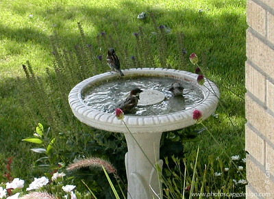 Chickadees enjoying the water in the bird bath in my yard - Boise, Idaho