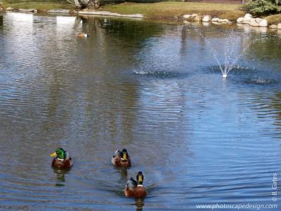 Malard Ducks - Boise, Idaho