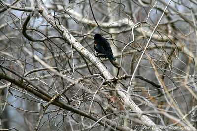 Red-winged Blackbird (Agelaius phoeniceus) [D]