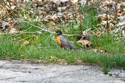 American Robin (Turdus migratorius) [D]