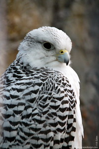 Gyrfalcon (Falco rusticolus)  The Gyrfalcon is the largest true falcon in the world. Gyrfalcons have a variety of plumage colors that range from white to almost black.  This bird is circumpolar and nests in the arctic regions of North America, Europe, Asia, Greenland, and Iceland. Gyrfalcons live in both tundra (treeless heath plains) and taiga habitats (swampy coniferous areas) with bluffs and cliffs along shorelines, rivers, or mountains. In response to a lack of prey, some birds move as far south as northern Oklahoma in the winter.  Gyrfalcons have been highly regarded by falconers throughout falconry's history. In the Middle Ages, only a king could hunt with a Gyrfalcon. In falconry, the male Gyrfalcon is called a jerkin.  Gyrfalcons that nest in the arctic regions frequently begin breeding and laying eggs when the temperature is still below zero degrees Fahrenheit.
