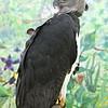 <b>Harpy Eagle</b> <i>(Harpia harpyja)</i>