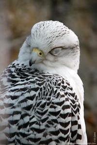 Gyrfalcon (Falco rusticolus)  Nap time :)