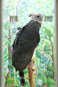 Harpy Eagle (Harpia harpyja)  The Harpy Eagle is also known as the American Harpy Eagle.  It is the national bird of Panama and is depicted on the nation's coat of arms.  Harpy Eagles are considered to be one of the world's largest and most powerful eagles. Although this eagle has hind talons up to the size of grizzly bear claws, they typically can only fly with prey weighing up to approximately one half of their body weight.  The Harpy Eagoe is one of the largest of the 50 species of eagles, about half the length of an average sized human. It can reach speeds of 50 mph in flight.  The Harpy often builds its nest in the crown of the kapok (ceiba) tree, one of the tallest trees in South America. In many South American cultures it is considered bad luck to cut down the kapok tree, which may help safe guard the habitat of this stately eagle.  Harpy Eagles, like many other birds of prey, bring fresh green twigs and branches to the nest. Some researchers think this helps to fumigate the nest against insects and parasites, and provide a cooler environment for the nestling.   Harpy Eagles are found in tropical lowland forests from southeastern Mexico to northern Argentina and southern Brazil. This bird prefers large expanses of uninterrupted forest but will hunt in open areas adjacent to forest patches.  Status:  Near Threatened --> Status information found at  The IUCN Red List of Threatened Species