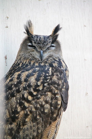 """Eurasian Eagle-Owl (Bubo bubo)  The Eurasian Eagle-Owl is the largest of the """"eared"""" or tufted owls with fully-feathered toes and one of only a few species of owls with orange eyes.  [Too bad he was sleepy. I never got to see those orange eyes :(]  The scientific name """"bubo"""" is descriptive of the male's vocalizations.    The great size, ear tufts and orange eyes make this a distinctive species. The ear tufts of males are more upright than those of females.  The Eurasian Eagle-Owl's population declined significantly during the first half of the last century through persecution, disease, and poisoning. As a result of protection, re-introduction programs, and a change in food abundance, this owl's population is recovering in Europe.  Eurasian Eagle-Owls favor rocky outcrops and cliffs in a variety of wooded habitats throughout much of Europe and Asia. This owl may also be found in open habitats that have some trees and rocky areas like taiga, farmlands, steppes, semi-arid areas, and grasslands."""