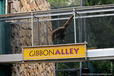 Gibbon - Zoo Boise