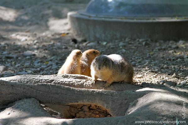 Prairie Dogs - Zoo Boise - 2011