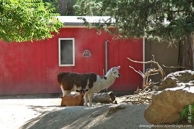 Llama - Zoo Boise - 2011