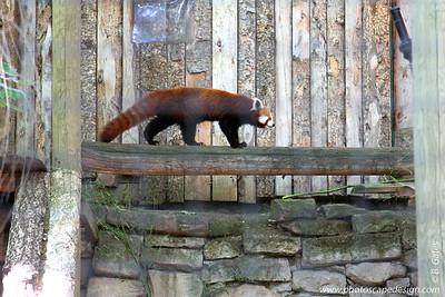 Red Panda - Zoo Boise - 2011