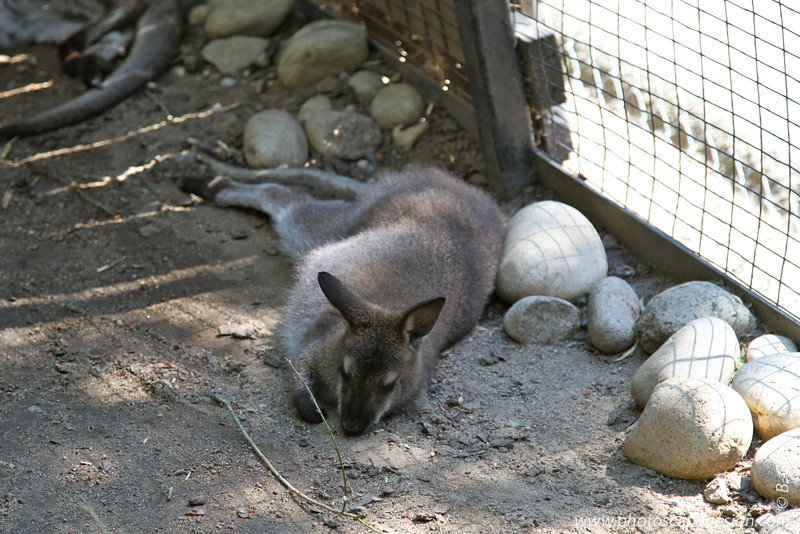 Wallaby - Zoo Boise - 2011