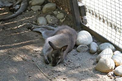 Wallaby - Zoo Boise - 2011