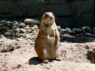 Prairie Dog -  Zoo Boise