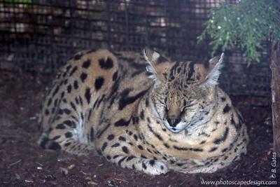 Ocelot - Zoo Boise