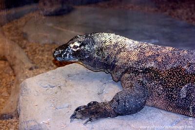 Komodo Dragon - Zoo Boise