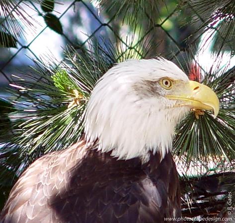 Bald Eagle - Zoo Boise