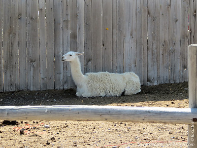 Llama in Carey, ID - Carey is primarily an agricultural city with a 2010 population count of 604.