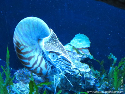 "The Chambered Nautilus (Nautilus pompilius) or Emperor Nautilus reaches about 20 external cm (7.87 inches) in length. The spiral shell of this chambered nautilus is thin and smooth with a brown and white pattern. Up to 30 chambers are created in the shell as the animal increases in size and moves to occupy the outermost chamber. The chambered nautilus maintains buoyancy through a gas passed through a tube in the shell tube called a siphuncle external. This also helps the animal stay upright in the water. The chambered nautilus has about 90 small suckerless tentacles found on the body close to where it is attached to the shell. This mollusk has eyes but they do not have a cornea external or lens. The Chambered Nautilus is found in the western Pacific Ocean. They are often found near the ocean bottom or near coral reefs in waters up to 500 external meters (1,640 feet) deep, but they travel to shallower waters at night.Nautilus pompilius first appeared around 550 million years ago during the early Paleozoic era external. According to fossil records, some had shells between 6-9 external meters (19.5 - 29.5 feet) long when uncoiled. Having survived relatively unchanged for millions of years, nautiluses represent the only living members of the subclass Nautiloidea, and are often considered ""living fossils."""