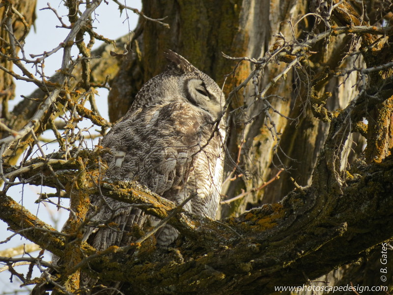 Great Horned Owl - More info here.