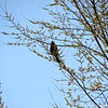 "Red-Winged Blackbird - More info <a href=""http://en.wikipedia.org/wiki/Redwinged_blackbird"" target+""_blank"">here</a>."
