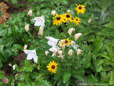 Yellow Coneflower (Rudbeckia fulgida)