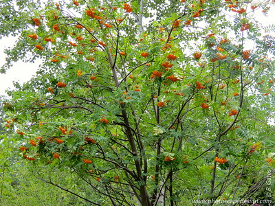 The Mountain Ash aka Rowan, European Rowan, or European Mountain-ash (Sorbus aucuparia) is actually not an ash but a member of the rose family. Sorbus aucuparia is a European native and the most widely planted of a large group of similar shrubs and trees. The native mountain ashes are just as beautiful, but most species tend to be shrubby in nature. The European mountain ash has a more distinctly treelike form.  It produces clusters of white flowers in spring followed by bright, long-lasting, orange-red berries in fall that attract birds.