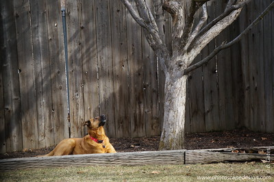 Maddie, the squirrel-hater.  She spends her days facing off with the squirrels in the back yard.