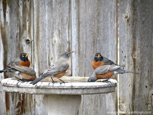 02.09.12:  We haven't had much of a winter this year.  These Robins seem to think it's Spring already in February.
