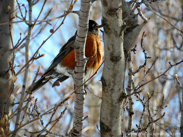 Fat winter Robin.