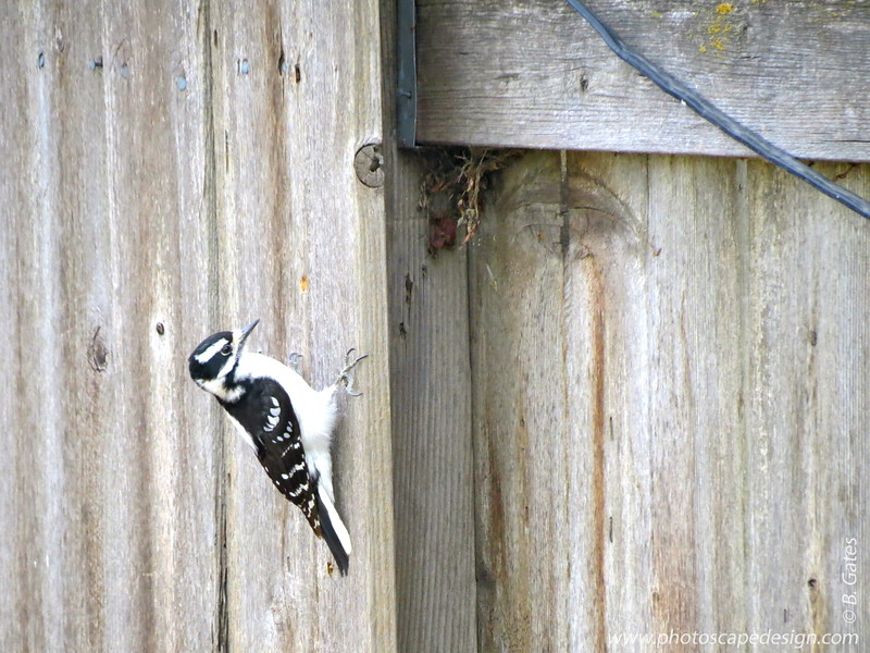 Downey Woodpecker - in my back yard.  More information can be found here,