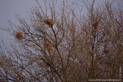 Squirrel nests.